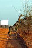 Giraffe in the savanna billboard — Stock Photo