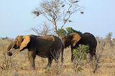 Savannah elephants — Stock Photo