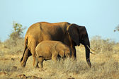 Mother and baby elephants — Stock Photo