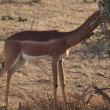 Stock Photo: Gazelle in the savannah