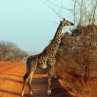 Giraffe in the savanna — Stock Photo #8893872