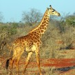 Stock Photo: Giraffe in the savanna