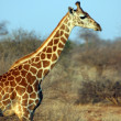 Giraffe in the savanna - Stock Photo