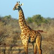 Foto Stock: Giraffe in savanna