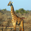 Stock Photo: Giraffe in savanna