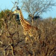 Giraffe in the savanna — Stock Photo #8893883