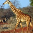 Giraffe in the savanna — Stock Photo #8893887