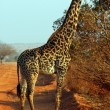 Giraffe in the savanna — Stock Photo #8893998