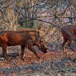 Warthog in savanna — Foto Stock #8897982