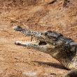 Foto Stock: Crocodile savanna