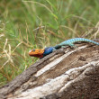African Lizard - Stock Photo