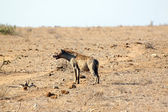 Hyena in the savannah — Stock Photo