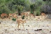 Gazelle in the savannah — Stock Photo