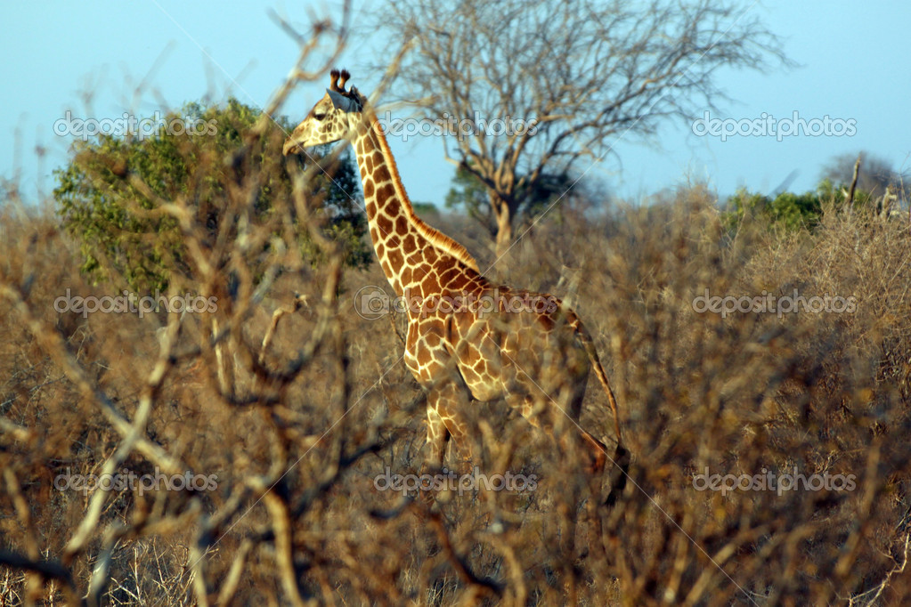 Giraffe in the savanna, Tsavo East, Kenya — Stock Photo #8893883