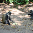 Monkeys near ancient ruins of Gede — Stock Photo #8902165