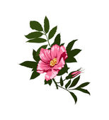 Wild rose flower on a white background — Stock Photo