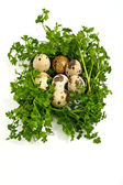Quail eggs with greenery. — Stock Photo