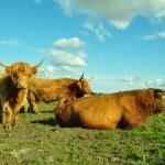 Highland Cattle On Skyline — Stock Photo #8744527