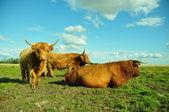 Highland Cattle On Skyline — Stock Photo