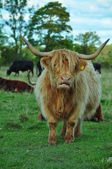 Highland Cow With Long Horns — Stock Photo