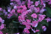 Beautiful Pink And Magenta Flowers — Stock Photo