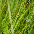 Little blue butterfly in the grass (Glaucopsyche Lygdamus) — Stock Photo