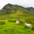 Sheep grazing in the amazing landscapeof Scotland, under huge mountain — Stock Photo