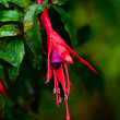 Fuchsia flower — Stock Photo
