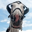 Curious carriage horse peeping into the camera — Stock Photo