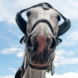 Curious carriage horse peeping into the camera - Stock Photo