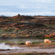 Beautiful Iceland scenery with pair of sheep  and hot spring — Стоковая фотография