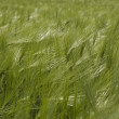 Field of wheat — Stock Photo #9283211