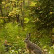 Alert hare in the forest — Stock Photo