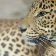 Stock Photo: Portrait of a leopard