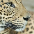 Portrait of a leopard — Stock Photo