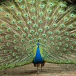 Peacock trying to impress female — Stock Photo