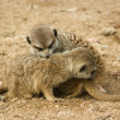 Cute baby suricates snuggling - Stock Photo