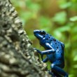 Blue dart poison frog — Stock Photo