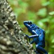 Blue dart poison frog — Stock Photo #9283459