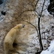 Polar bear in global warming affected country — Stock fotografie