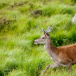 Whitetail buck portrait, curiously grazing in the high grass — Stock Photo #9283534