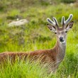 Whitetail buck portrait, curiously grazing in the high grass — Stock Photo #9283542