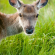 Stock Photo: Whitetail buck portrait, curiously grazing in high grass
