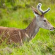 Whitetail buck portrait, curiously grazing in the high grass — Stock Photo