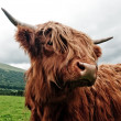 Portrait of highland cow — Stock Photo