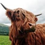 Portrait of highland cow — Stock Photo