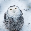 Snow owl sitting — Stock Photo