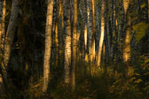 Mysterious birch forest — Stock Photo