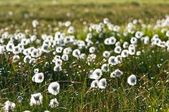 Field of white flowers — Stock Photo