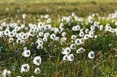 Pole białe kwiaty — Zdjęcie stockowe